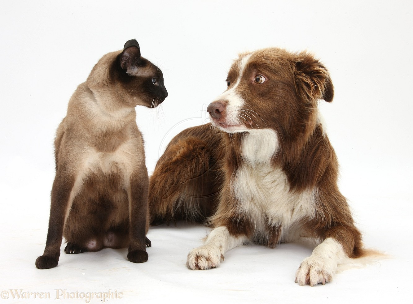 32398-Chocolate-Border-Collie-and-Siamese-cat-white-background